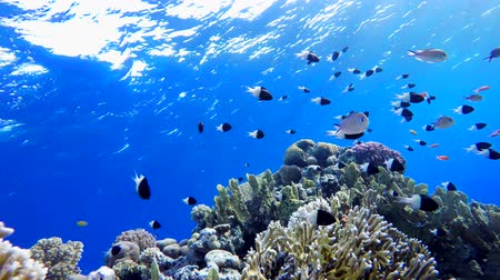 barriers : Reef and beautiful fish. Underwater life in the ocean. Tropical fish. Stock Footage