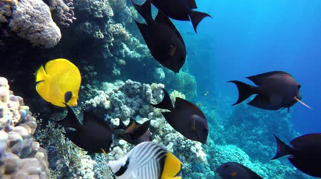 vida marinha : Life in the ocean. Tropical fish and coral reefs. Beautiful corals. Underwater life in the ocean. Minimal video processing. Natural environmental conditions. Vídeos