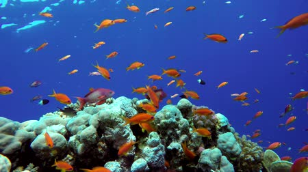 vida marinha : Diving. Tropical fish and coral reef. Underwater life in the ocean. Colorful corals and fish.
