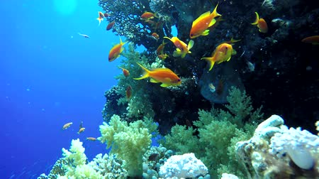 tengeri élet : Colorful corals and fish. Tropical fish. Underwater life in the ocean.