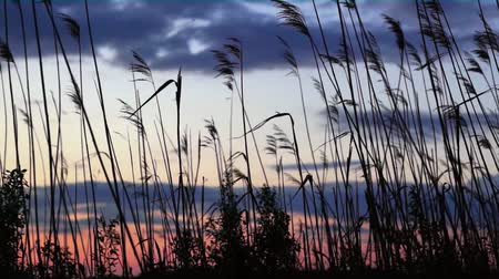 sazlık : dry reeds moving gently in the wind at sunset Stok Video