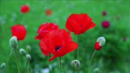 haşhaş : red poppies gently moving in the wind