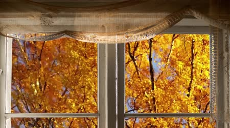 birch trees with yellow leaves in autumn outside windows