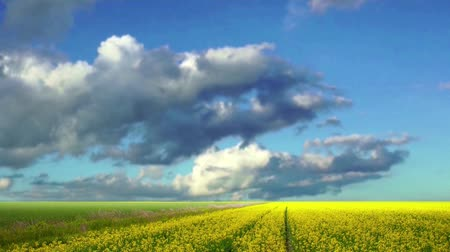 Rape seed field with blue sky and fluffy clouds Stok Video