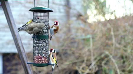 Small birds, mainly European Goldfinch, feeding on sunflower seeds