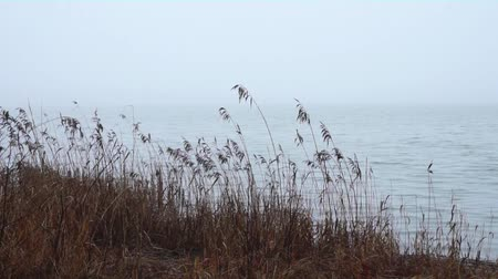 Reeds moving in wind on foggy day Stok Video