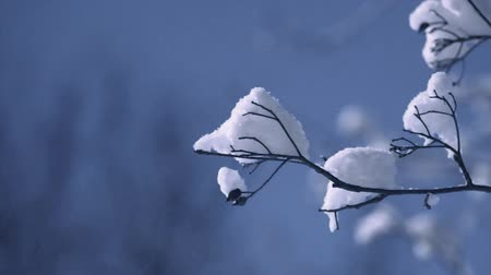 Branch with cap of snow moving gently in the wind Stok Video