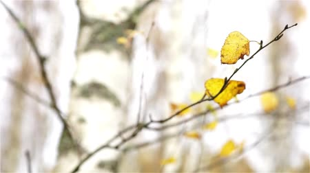 Yellow leaves of birch tree moving in the wind, completely seamless
