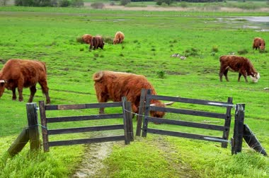 Grazing Scottish Highland cows behind wooden gate