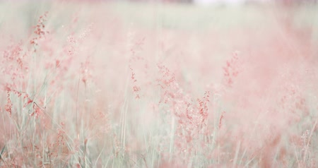 rüya gibi : Soft sweet romance pink grass medow in wind look like a dream  for love and valentines day background , bright pink color , 4K Dci resolution