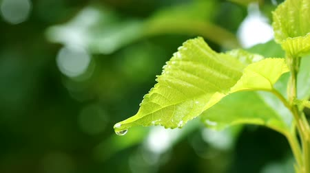 water rain drop with fresh green leaf for nature background of close up dew drop fall from leaf Wideo