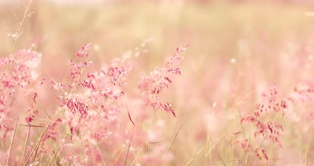Soft sweet romance pink grass medow in wind look like a dream  for love and valentines day background , bright pink color , 4K Dci resolution