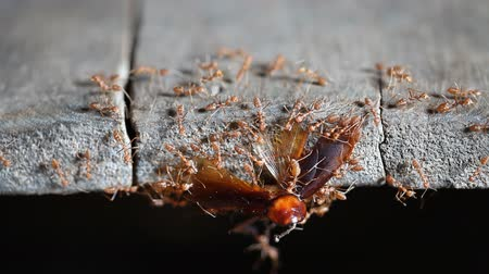 red ant : Ants are carrying food