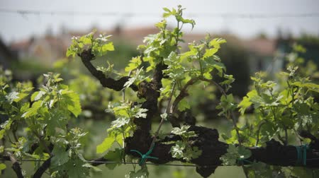 Vineyard with leaves in spring moved by light breeze. Example of grape cultivation for wine production in the Italian plains. Stok Video