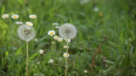 alergia : Pair of dandelions in macro shot.