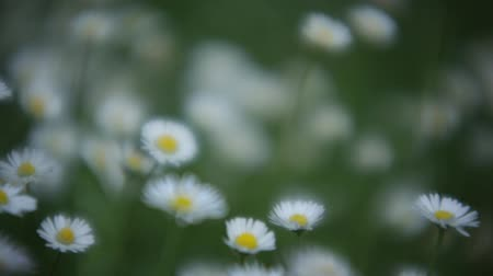 Daisies at spring in the garden with a focus effect.