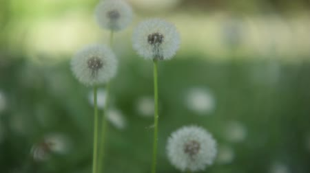 Many dandelions taken with a macro lens inside a spring garden in their period of infructiscence. Stok Video