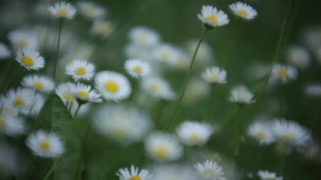 Detail of a meadow full of daisies with macro shot. Stok Video