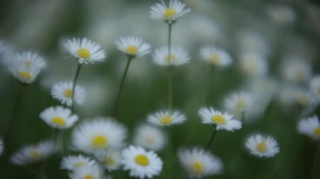 Movement of daisies at springtime in a garden.