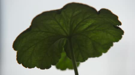 герань : Leaf of a geranium moved by the wind. Стоковые видеозаписи