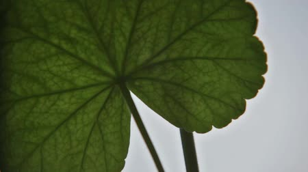 Detail of a leaf of geranium moved by the spring with visible veins. Stok Video