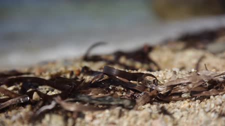 Mediterranean sand covered with small pieces of seaweed and dragged ashore from the sea. Stok Video