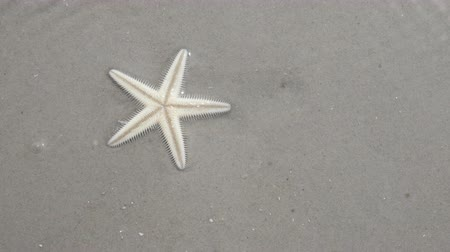 aegean sea : Starfish buries itself in the sand, shallow water
