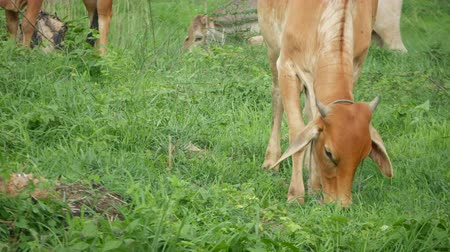 lineage : Cows graze alongside the local native Thailand. Stock Footage