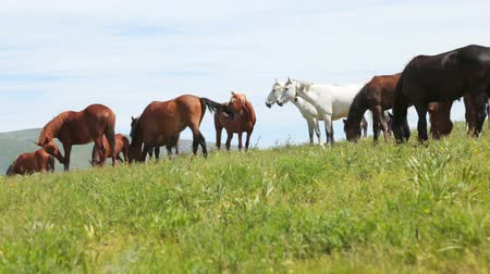 The herd of horses is grazed on a meadow in mountains. Horses slowly go on a meadow Stock mozgókép