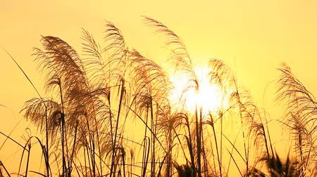 préri : Grass field at sunset Stock mozgókép