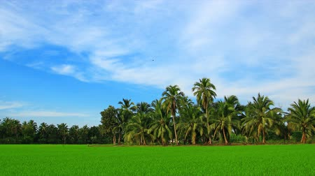 eko : Rice field and coconut tree, time lapse zoom out Wideo