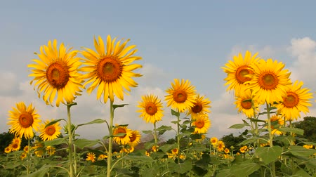 girasoles : Girasol, campo de girasol Archivo de Video