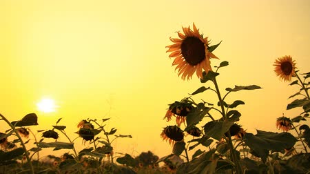 girassóis : Sunflower at sunset, time lapse