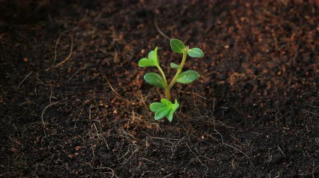 crescimento : seedling growth, planting tree Vídeos