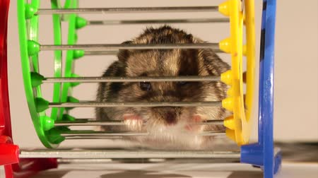 fare : little hamster