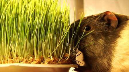 świnka morska : guinea pig eat the grass Wideo