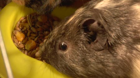 evcil : two guinea pigs eat the grains Stok Video