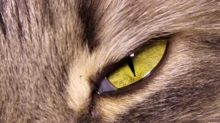 olhos castanhos : yellow eye of grey domestic cat Stock Footage