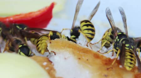darázs : wasps eat the lard and pepper Stock mozgókép