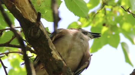 dut : young Eurasian jay (Garrulus glandarius) Stok Video