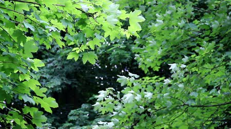 acer : natural green background of maple tree (Acer pseudoplatanus)