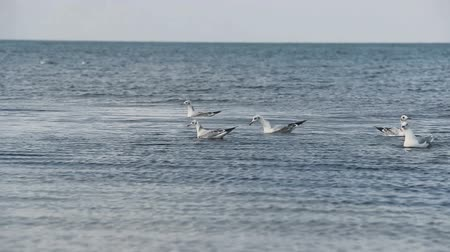 gaivota : many gulls swimming and diving at the sea