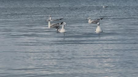 many gulls swimming and diving at the sea