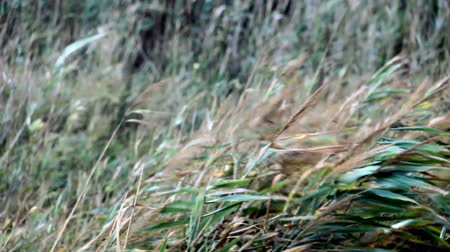 kamış : a reed field blowing in the wind in autumn Stok Video