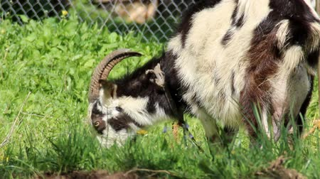 barnyard : a rural scene of white adult goat with a little goats