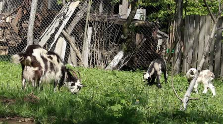 barnyard : a rural scene of white adult goat eat the grass Stock Footage