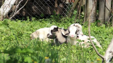 barnyard : a rural scene of white goat kid standing on pasture Stock Footage