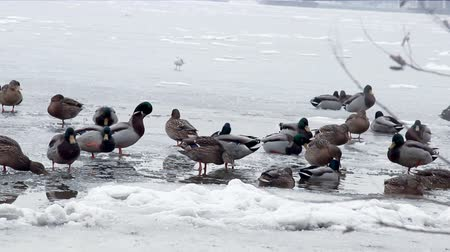 yeşilbaş : a many wild ducks at the frozen big river
