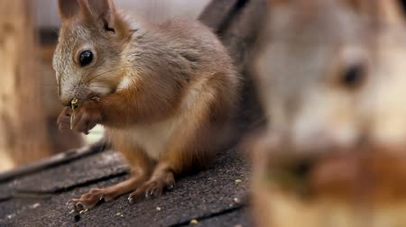 bont : close-up rode squirell (Sciurus vulgaris) eten in de kooi Stockvideo