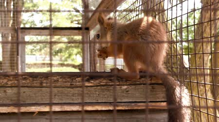 squirrel : close-up red squirell (Sciurus vulgaris) eating in the cage